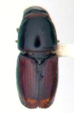 Scolytid - Scolytus multistriatus