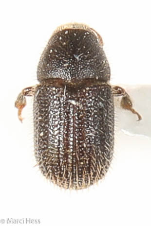Phloeotribus liminaris