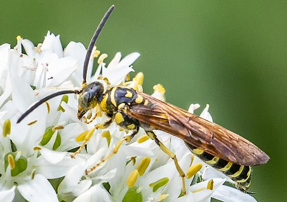 Unusual wasp - Myzinum quinquecinctum - male