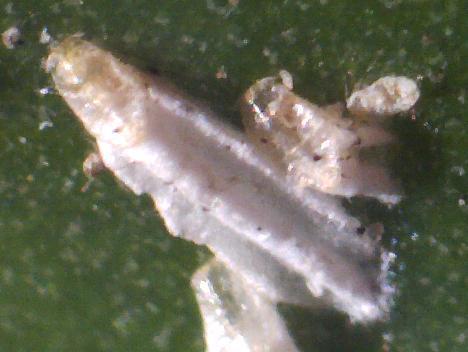 female scale - Fiorinia - male