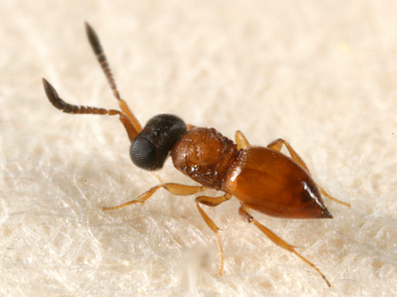 tiny wingless wasp - Ceraphron - female