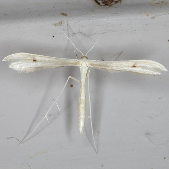 Plume Moth IMG_9205