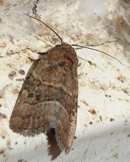 Moth, Unknown - Elaphria fuscimacula