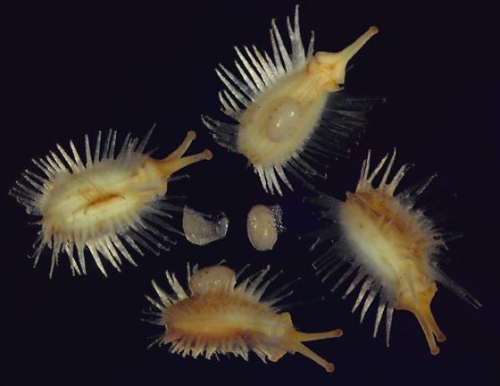 Thyreocoridae egg(s) perhaps - Corimelaena