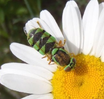Unknown Syrphidae - Odontomyia cincta