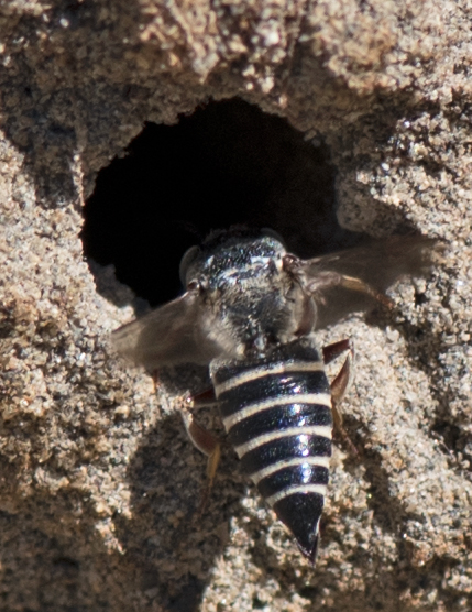 bee at hole - Coelioxys