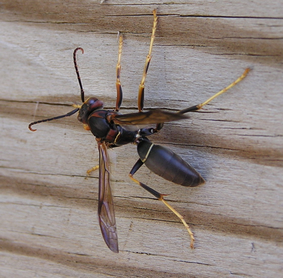 Polistes wasp - Polistes metricus - male
