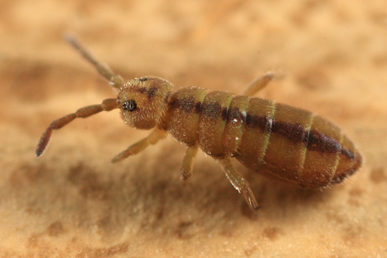striped springtail - Isotomurus tricolor