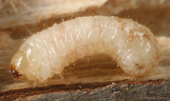 larva from alder wood