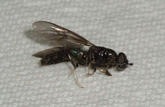 Need help with wasp ID - Hermetia illucens