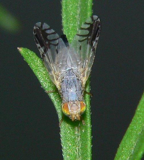 Trupanea actinobola? - Trupanea vicina - female