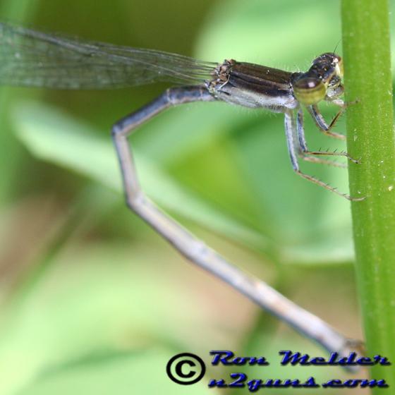 Damselfly - Ischnura prognata - female