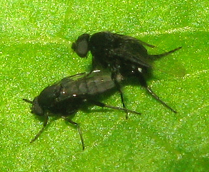 Flies mating - Phora - male - female