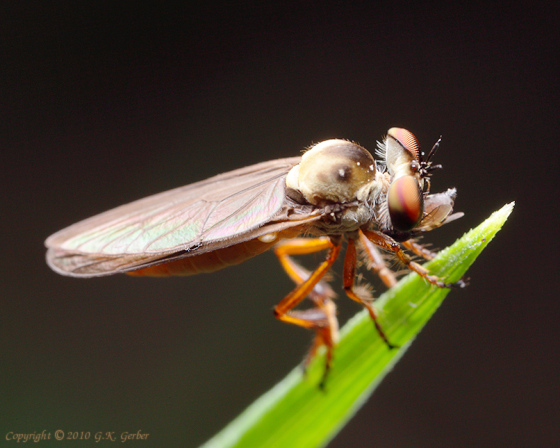 Small Robber Fly - Holcocephala calva