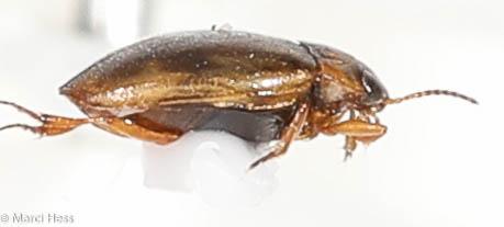 Dytiscidae - Liodessus