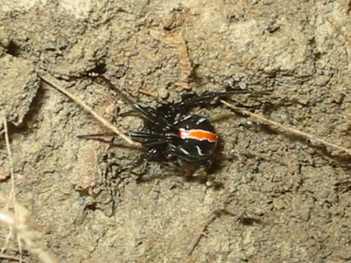 Immature female western black widow - Latrodectus hesperus - female