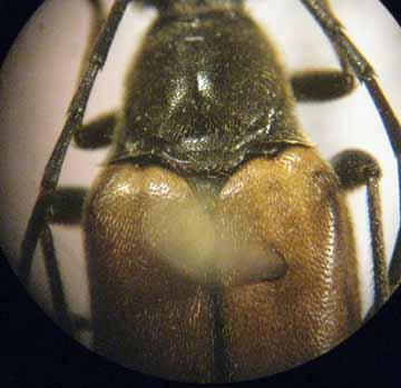 longhorn beetle - Etorofus plebejus