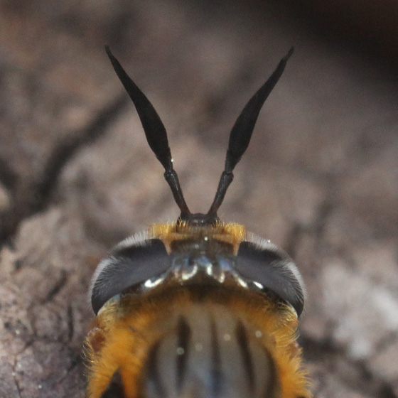 syrphid fly - Callicera erratica - female