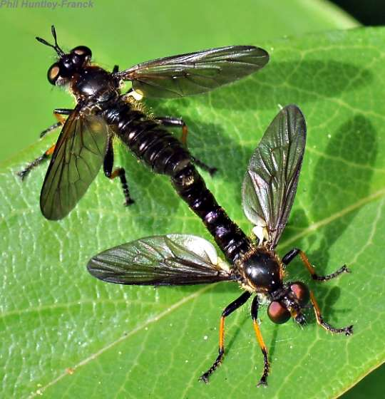 robber flies - mating - Eudioctria nitida - male - female