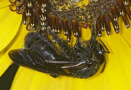 6013495 black bee - Dieunomia heteropoda