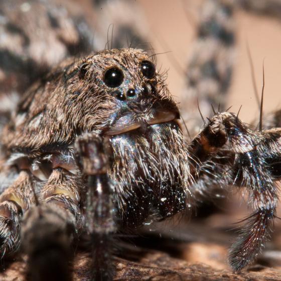 Camo Wolf Spider - Pardosa xerampelina
