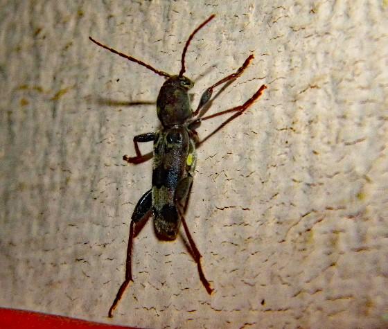 Beetle? ID - Xylotrechus colonus