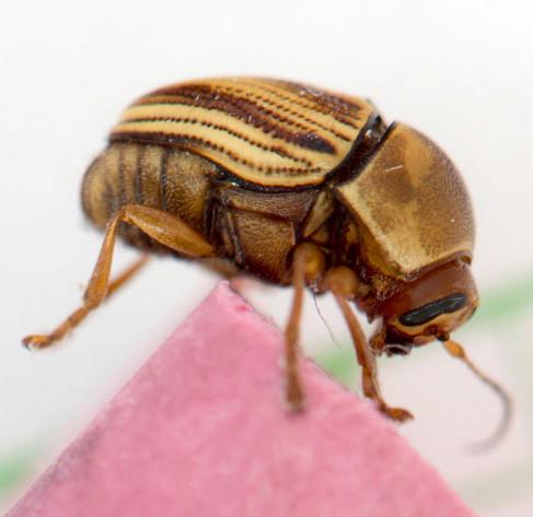beetle - Cryptocephalus obsoletus