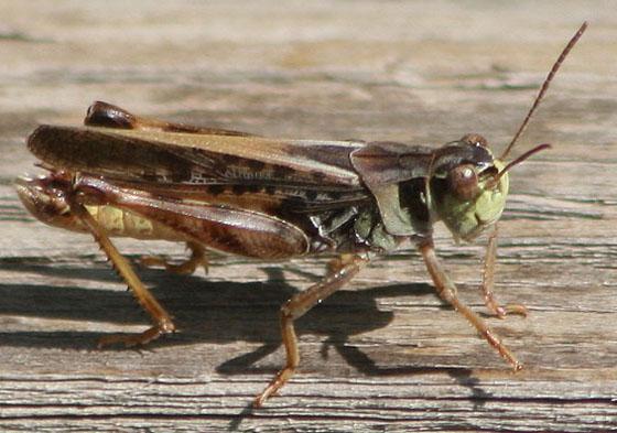 small grasshopper - Camnula pellucida - male