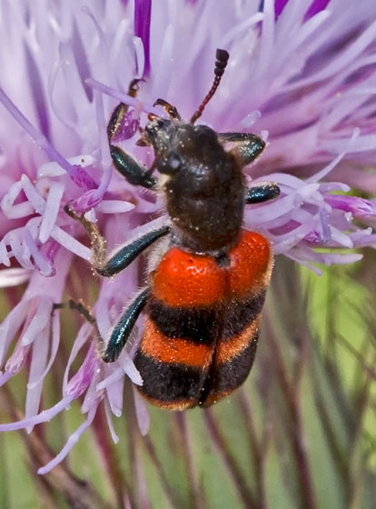 BeetleHairyRedBlk05082015_JD - Trichodes apivorus