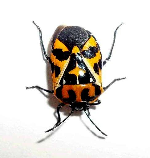 Geaux Tiger Beetle - Murgantia histrionica