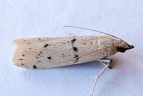 Arizona Moth - Sosipatra rileyella
