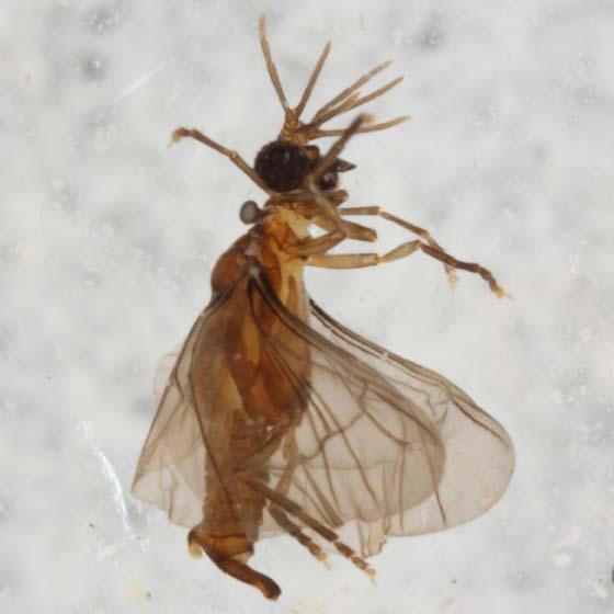 Strepsiptera - Triozocera - male