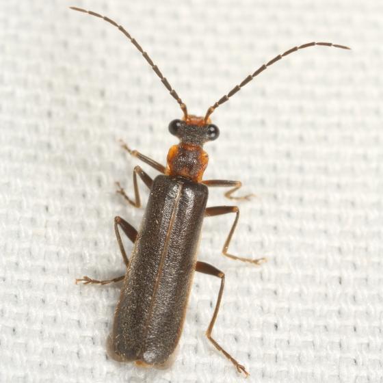 Cantharid - Dichelotarsus cinctipennis
