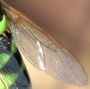 Odontomyia cincta? - Odontomyia cincta