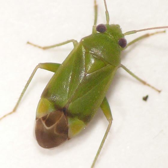 Dichrooscytus repletus