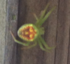 Bright green spider with red and yellow markings - Araneus cingulatus