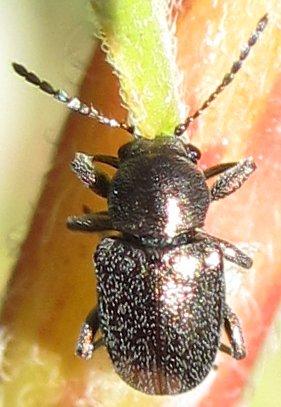 Beetle - Graphops pubescens