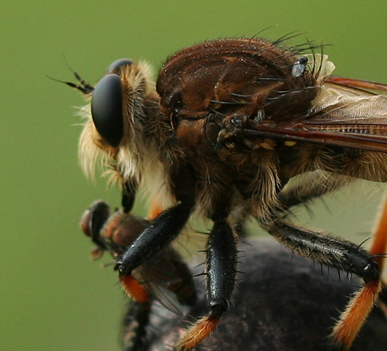 Robber Fly - Promachus rufipes