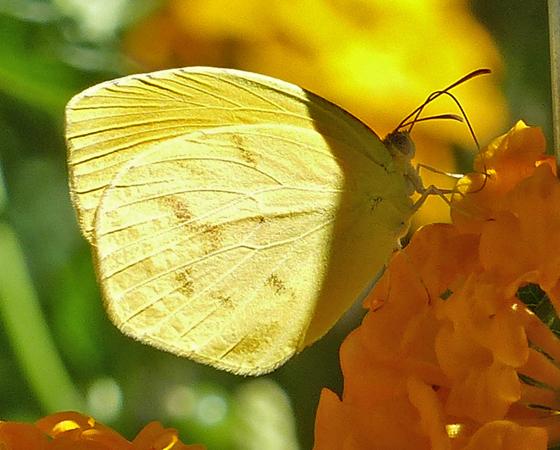 Tailed Orange - Pyrisitia proterpia