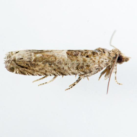 Moth for ID - Crocidosema plebejana