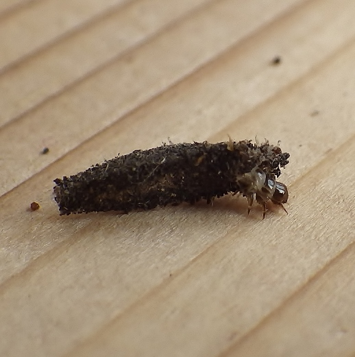 Psychidae: Dahlica triquetrella - Dahlica triquetrella