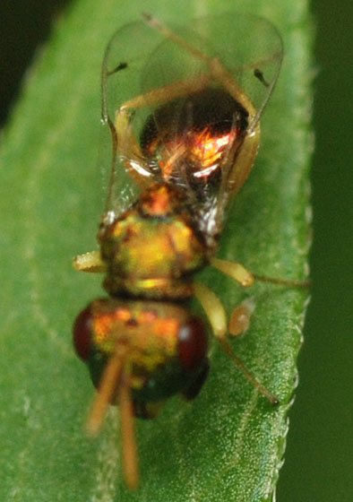 pteromalid wasp - Halticoptera - male