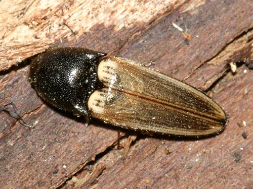 click beetle - Ampedus nigricollis