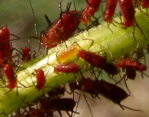 Syrphid larva? Predator - Aphidoletes