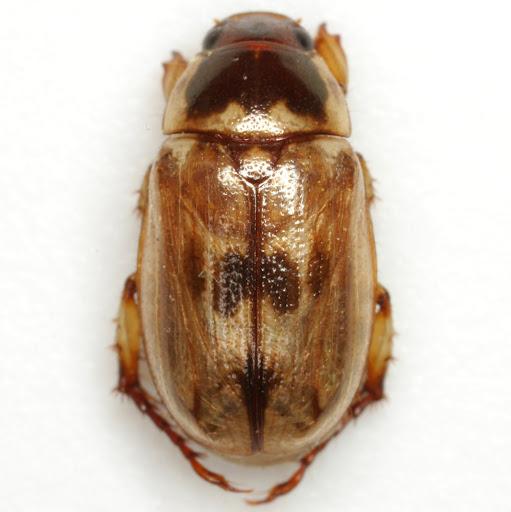Anomala innuba (Fabricius) - Anomala innuba