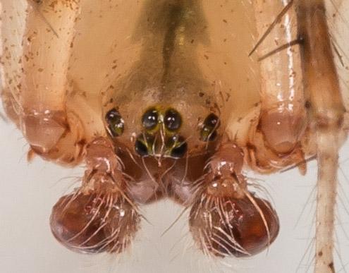 Spider - Araneus thaddeus - male