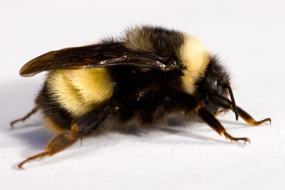 Family Apidae? - Bombus terricola - female