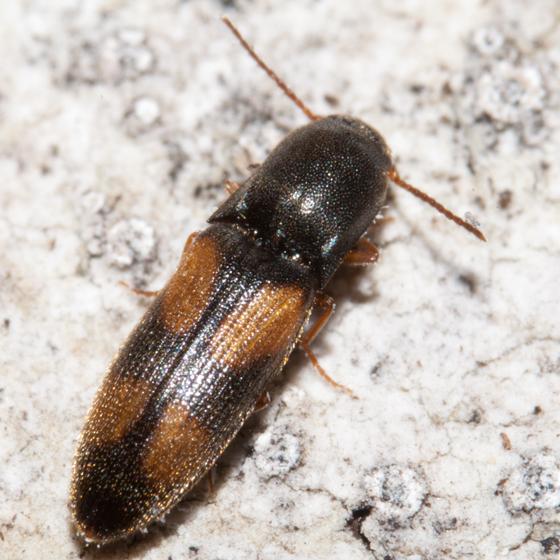 Small Black and Orange Beetle - Idolus bigeminatus