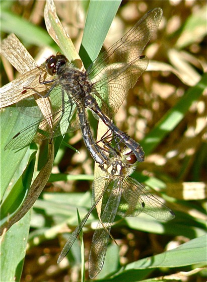 Black Meadowhawk - Sympetrum danae - male - female