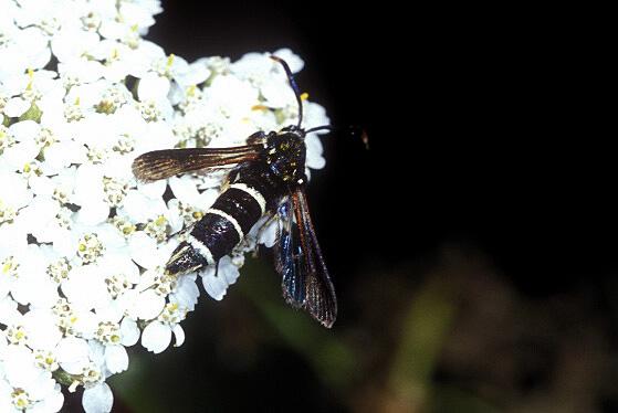 Borer Moth - Paranthrene tabaniformis